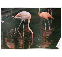 A Flamingo with its head under water in the Jurong Bird Park in Singapore Poster