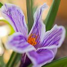 Spring Crocus by EkaterinaLa