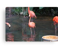 A Flamingo in the small lake in their exhibit in the Jurong Bird Park Canvas Print