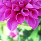 Dahlia Pastel by Orla Cahill Photography