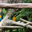 2 Macaws framed by tree branches by ashishagarwal74