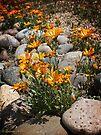 Wildflowers ~ African Dasies by Lucinda Walter
