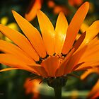 African Daisy in Orange by Lucinda Walter