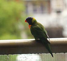 Rainbow Lorikeet on the Balcony by SpielmanDesigns