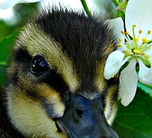 Rouen Duckling by Ashlee White