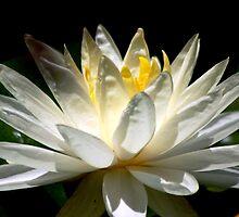 Beautifyl queen of flowers by loiteke