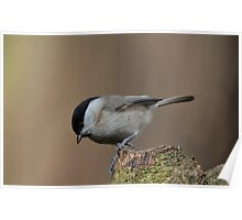 Willow tit - I Poster