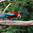 A very colorful and bright Macaw bird by ashishagarwal74