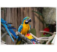 Colorful and bright Macaw bird Poster