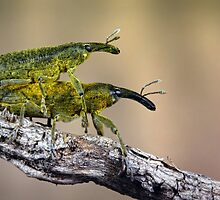 Weevils by jimmy hoffman