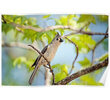 Tufted Titmouse in the Treetops Poster