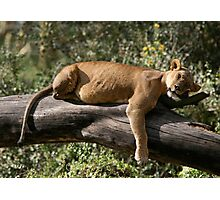 Lioness naps, Lake Nakuru Photographic Print
