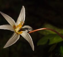 GIANT WHITE FAWN LILLY by Sandy Stewart