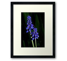 grape hyacinth in the grass Framed Print