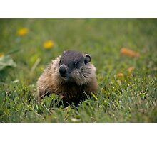 Ground hog Photographic Print