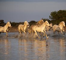 White Horses of The Camargue 2 by jennialexander
