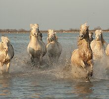 White Horses of The Camargue 3 by jennialexander