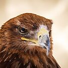 Jacob the Harris Hawk by Silken Photography