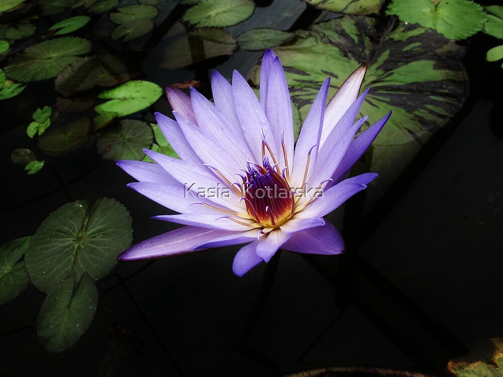 Blue water lily by Kasia  Kotlarska