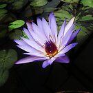 Blue water lily by Kasia  Kotlarska