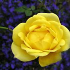Dreamy Yellow Rose and Purple Lobellia by MidnightMelody