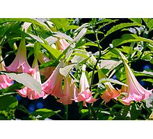Angels Trumpets bunch Photographic Print