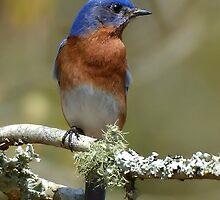 Bluebird And Lichen by Kathy Baccari