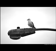 Larus Delawarensis - Ring-Billed Gull Sitting Upon Beach Light - Mt. Sinai, New York by © Sophie W. Smith