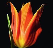 Orange Flame Tulip by Sharon Woerner