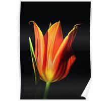 Orange Flame Tulip Poster