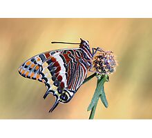 Charaxes jasius Photographic Print