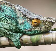 Parson's Chameleon by CharlotteMorse