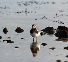 Steenloper / Ruddy Turnstone by Richard Eijkenbroek