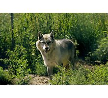 "'Timber Wolf"" Photographic Print"