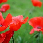 Poppies by sarahgotts