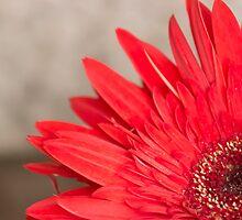 African Daisy 2 by John Velocci