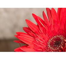 African Daisy 2 Photographic Print