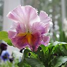 """An """"Orchid"""" Pansy by Pat Yager"""