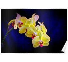 Beautiful Yellow Orchid with deep blue background Poster