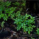 Rainforest Floor FNQ by Chris Cohen