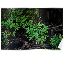Rainforest Floor FNQ Poster
