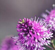 Bush Blooms by jayneeldred