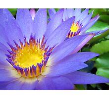 Purple & Yellow Lotus Photographic Print