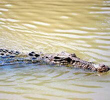 Crocodile cruising by Akrotiri