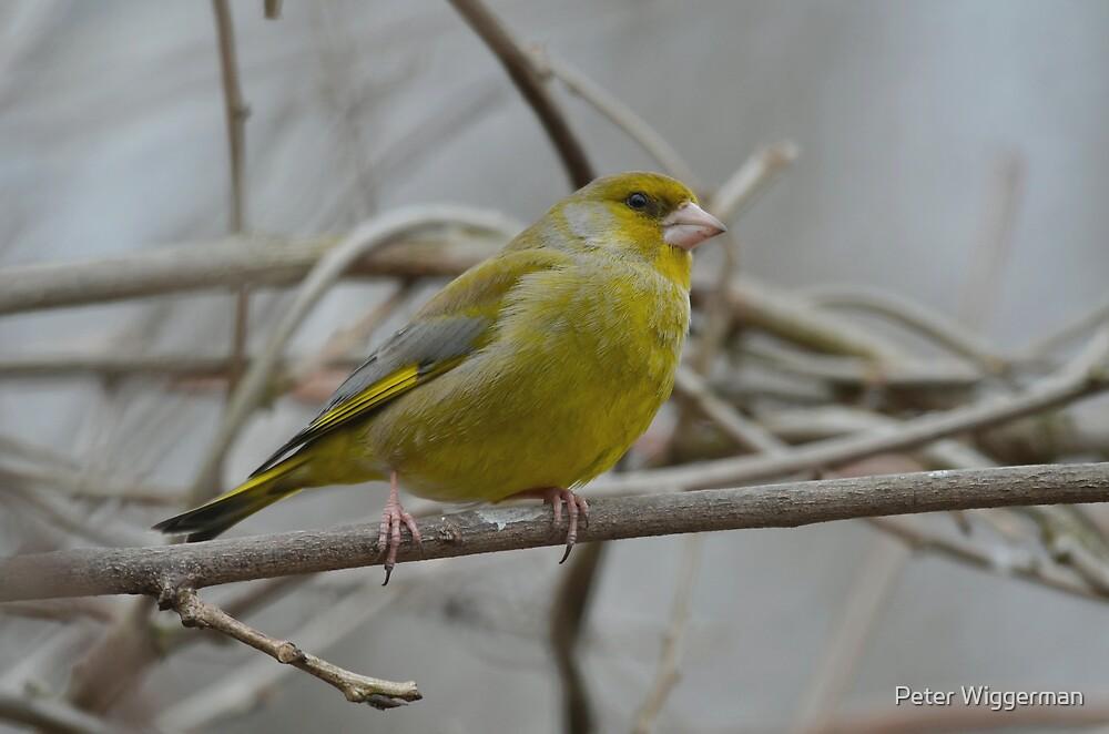 Green finch by Peter Wiggerman