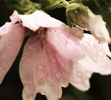 to weep - Holly hocks in the rain (1) by CecilysSong