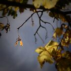 lonely sycamore by CecilysSong