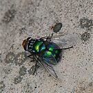 Blowfly Close Up by peasticks
