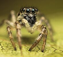 Salticus scenicus female jumping spider extreme macro by Mario Cehulic