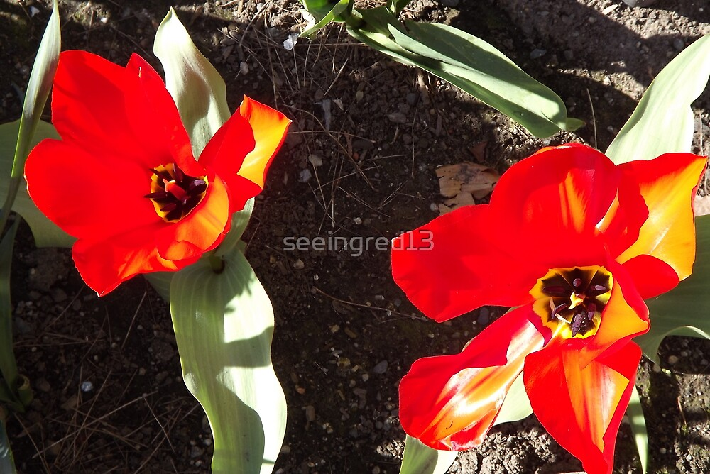 Flaming Red & Gold! Spring Is Here! by seeingred13